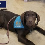 a chocolate labrado puppy laying down on the floor, wearing an atlas vest looks up at the camera