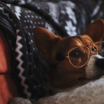 a senior dog wearing glasses