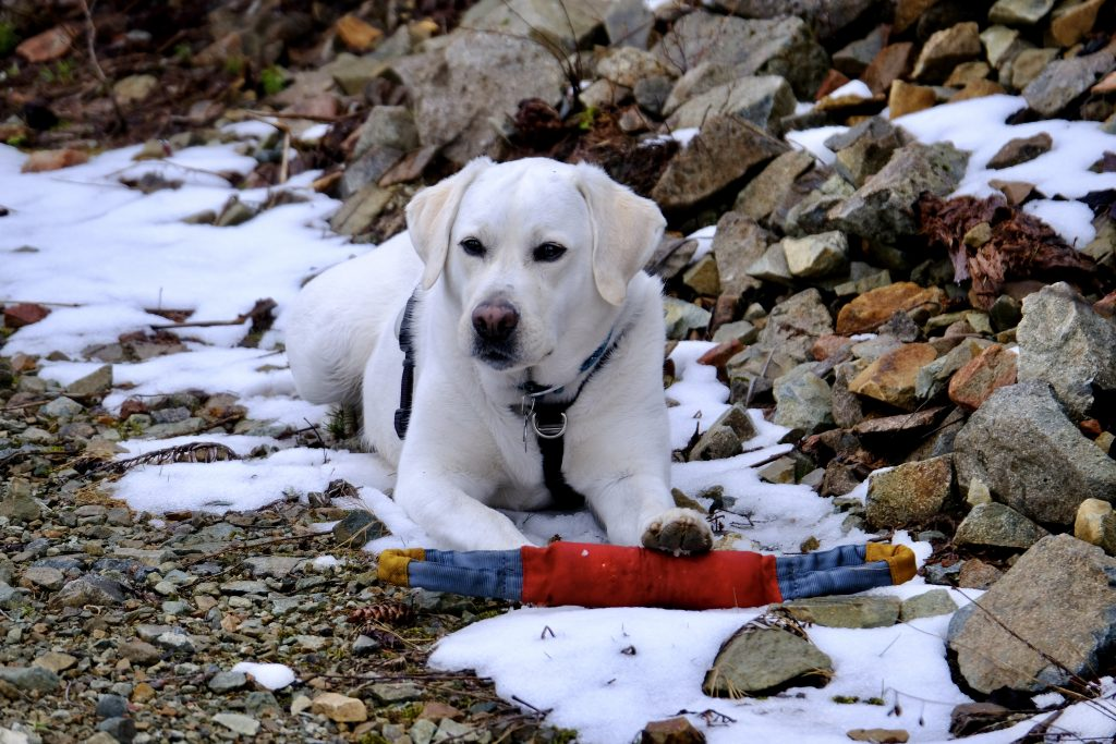 a white labrador laying down in the snow