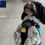a havanese with a service dog vest standing on his hind paws with his tongue out