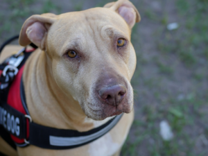 a dog with a service vest looks up towards the camera