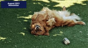 A golden retriever laying on his back in the grass