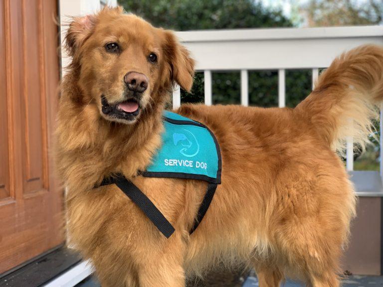 A golden retriever with a teal atlas service dog vest