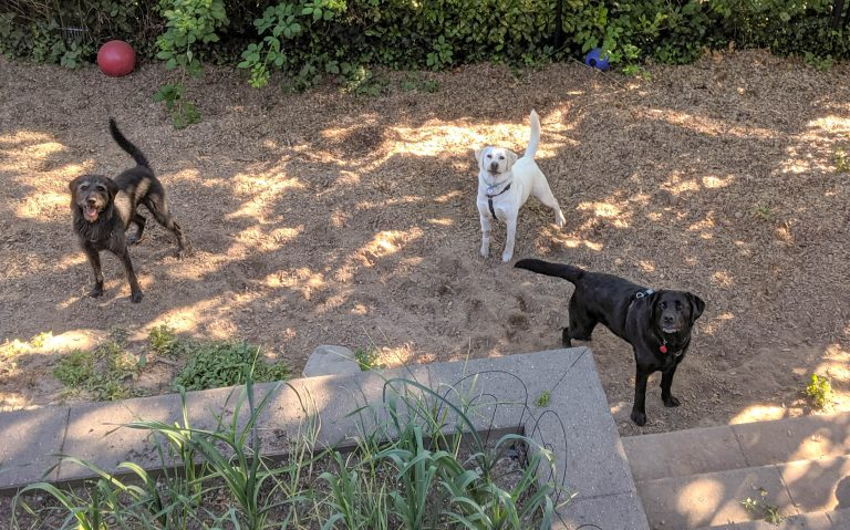3 dogs in a yard looking at the camera. A black labradoodle, a white lab and a black lab.