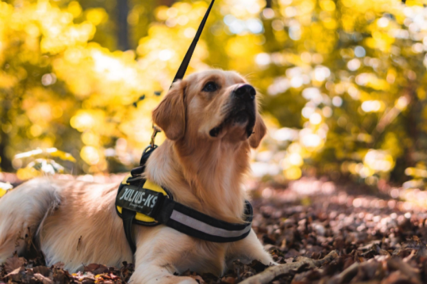 a golden retriever with a service dog vest laying in the grass