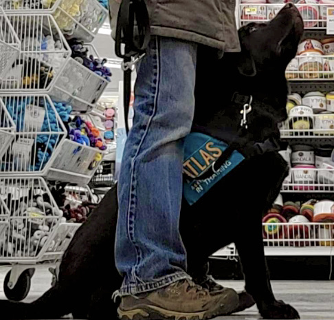 A service dog sitting between his handlers legs and looking up